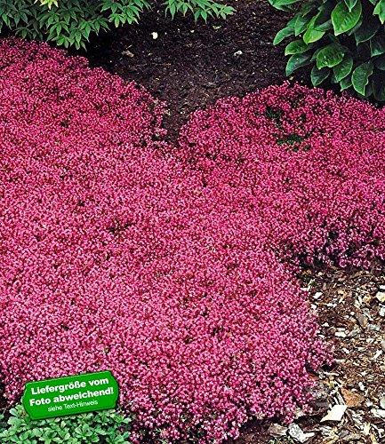 BALDUR-Garten Winterhart Bodendecker-Thymian Thymus, 3 Pflanzen
