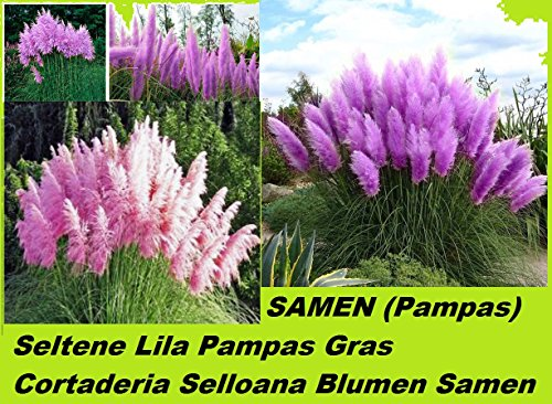 25x Lila Pampas Gras Garten Pflanze Blumen Cortaderia Selloana Blumen Samen #210