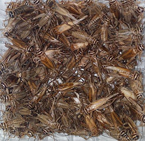 Heimchen subadult Dose Futterinsekten Reptilienfutter Futtertiere