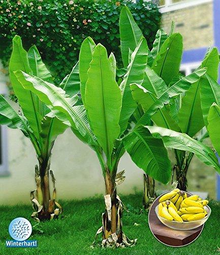 BALDUR-Garten Winterharte Bananen 'gr�n', 1 Pflanze, Musa basjoo