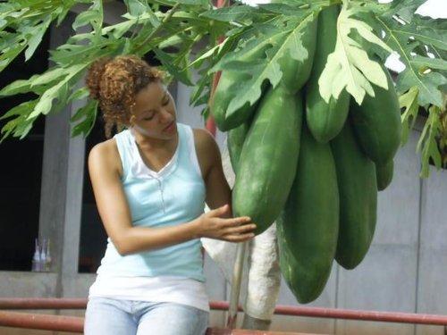 Melonenbaum, Papaya, Fr�chte aus dem eigenen Garten, Samen,schnellw�chsig, EXOT! 11 Samen