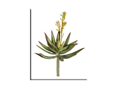 Hobby 37039 Haworthia, Breite 15 cm, SB