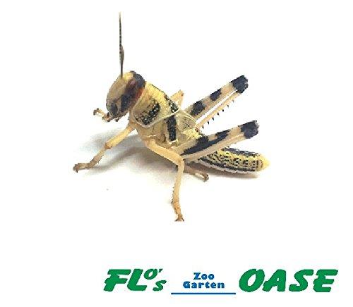 Heuschrecken W�stenheuschrecken mittel 100 St�ck Futterinsekten Reptilienfutter Futtertiere